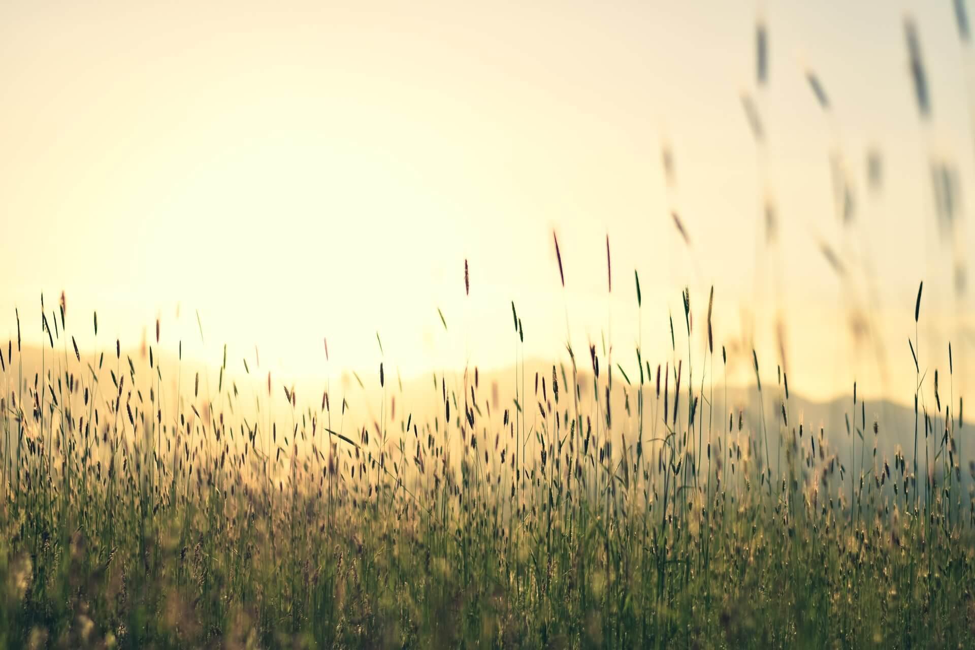 Soleil levant dans les herbes